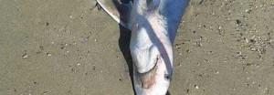 Campania, squalo ritrovato su spiaggia Pontecagnano Faiano