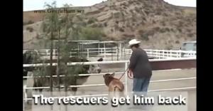 VIDEO - Vitello ritrova la mamma e sviene per l'emozione