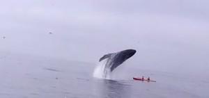 il salto spettacolare della balena sulla canoa