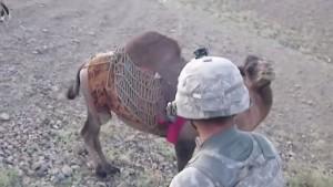 VIDEO YOUTUBE soldato americano preso a calci...dal cammello