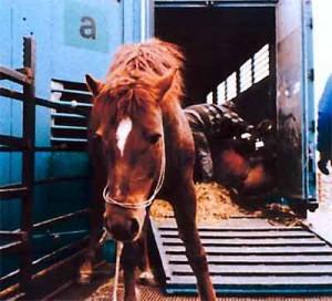 Cavalli agonizzanti nel lager sequestrato a Campagnano, Roma
