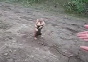 VIDEO YOUTUBE Criceto impazzito lotta contro tutto e tutti