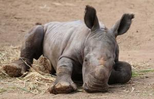VIDEO YouTube. Raro rinoceronte bianco nato al Monarto Zoo