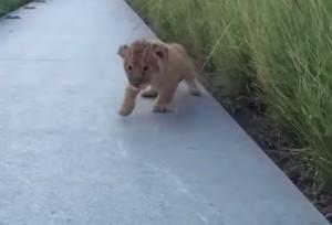 Il piccolo leoncino prova a ruggire