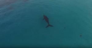 il drone del surfer riprende due megattere