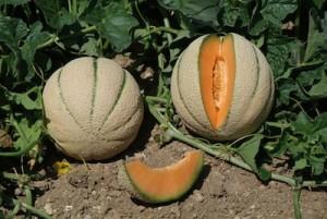 Lucera: immigrato rubava meloni, ucciso a fucilate