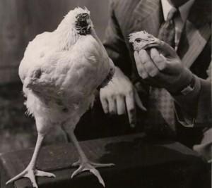 Mike, il pollo che visse 18 mesi senza la testa