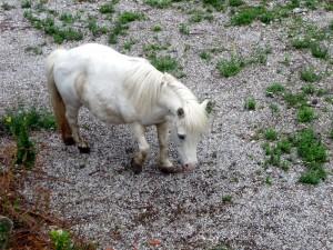 Pony abbandonato e legato al guardrail sulla Tuscolana