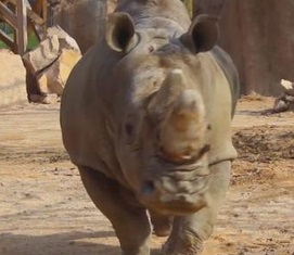Giornata del rinoceronte: guerra corni sta uccidendo specie