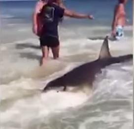 squalo arenato, bagnanti scavano per salvarlo