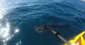 VIDEO YouTube - Squalo attacca pescatore sul kayak e...