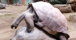 Due tartarughe giganti si accoppiano