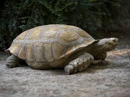 Tartaruga di 45kg in fuga: trovata a 2 chilometri da casa