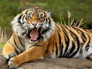Una tigre di Sumatra