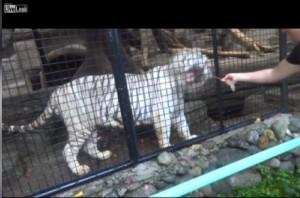 Regala un hot dog alla tigre dello zoo, ma...VIDEO