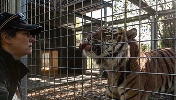 Video youtube sbranata da tigre mentre pulisce la gabbia for Youtube la gabbia