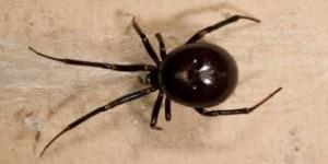 Ragni pericolosi, allarme false vedove nere in Gran Bretagna