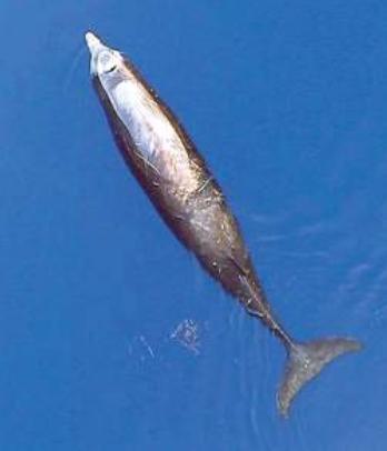Delfino zifio ripreso da drone nel mar Ligure