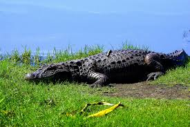 Olimpiadi Rio 2016, Gb: Attenti, alligatori nei campi da golf