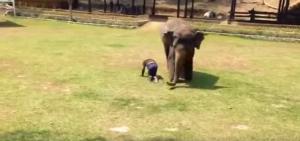 Elefante intelligente salva persona aggredita