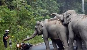 VIDEO YOUTUBE Troppo rumore, elefanti caricano motociclista