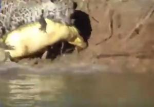 """Giaguaro """"pesca"""" coccodrillo nel fiume"""