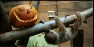 Zoo Londra, primo Halloween del baby bradipo VIDEO