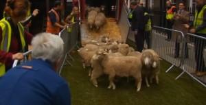 Londra, sfilata di pecore per Settimana lana