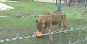 Nuova vita per quattro leoni, dal circo a zoo inglese