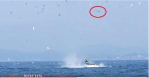 VIDEO YouTube. Orche a caccia: lanciano leone marino in aria