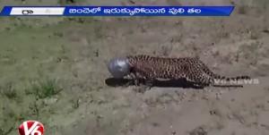 testa leopardo incastrata nella ciotola acqua