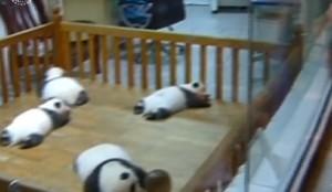 Cina, 36mila visitatori in un giorno per i baby panda