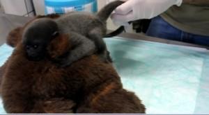 Cucciolo scimmia dal dottore: coccole, biberon e peluche