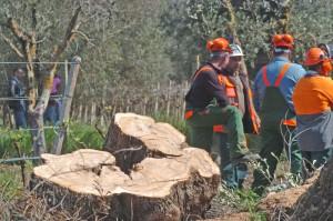 Xylella sempre più killer: altri 3mila alberi da abbattere