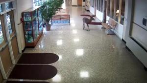 YOUTUBE Cervo entra in una scuola: panico tra gli studenti