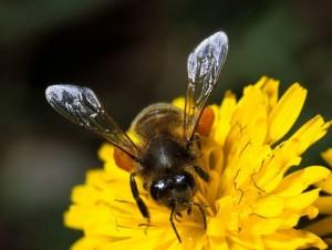 Terrorismo, arrivano le api che fiutano l'esplosivo