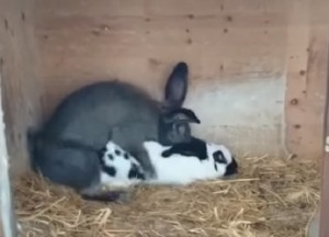 YOUTUBE Coniglio vede coniglietta e... il rapporto record