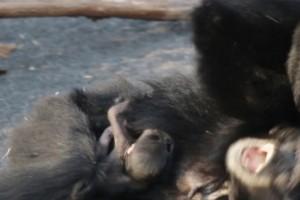 Cucciolo di gibbone al Bioparco Zoom Torin