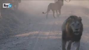 Leoni litigano per giraffa: il video dal Ruaha National Park