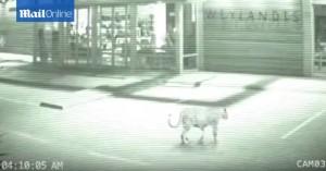 """VIDEO YouTube. Leopardo fa """"shopping"""" al centro commerciale"""