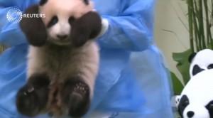 Malesia, panda si addormenta a prima apparizione in pubblico