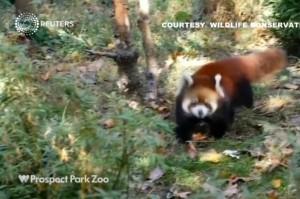 Cuccioli panda rosso debuttano allo zoo di Brooklyn VIDEO