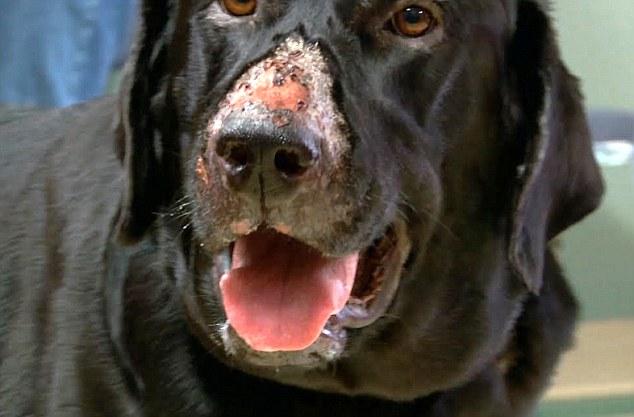 Alabama rot, malattia misteriosa che mangia la carne dei cani 2