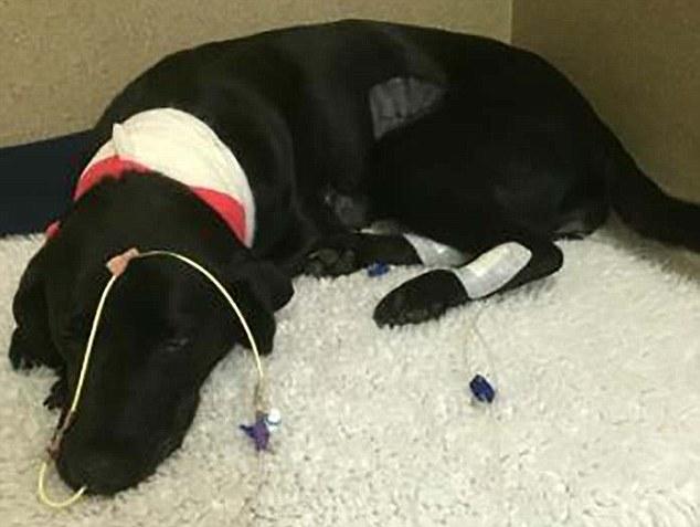 Alabama rot, malattia misteriosa che mangia la carne dei cani 4
