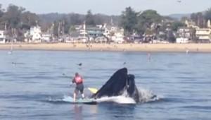 "YOUTUBE La balena ""sbadata"" inghiotte quasi il surfista"