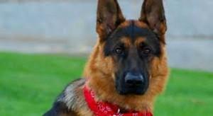 Treviso, cane veglia l'anziano padrone morto per due giorni