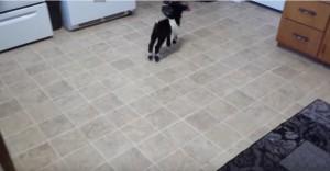 Capra pigmea impara a saltare copiando la padrona