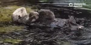 Cucciolo lontra coccolato dalla mamma sull'acqua
