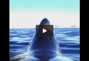 VIDEO Il mondo visto da un pinguino con la go-pro