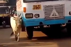 VIDEO Mucca ogni giorno da anni ferma bus che uccise figlio
